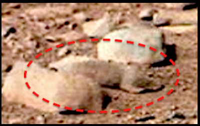 Close up of NASA/JPL photo of what appears to be a squirrel/rat on Mars Credits:  UFO Sightings Daily